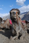 Bactrian Camel, Nubra Valley Ladakh